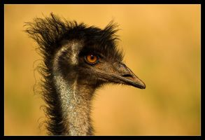 Emus on Parade 2 by Sun-Seeker
