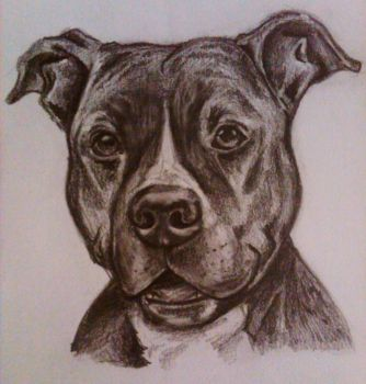 American Staffordshire Terrier by MiDulceLocura