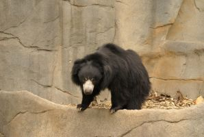 Sloth Bear 001 by MonsterBrand-stock