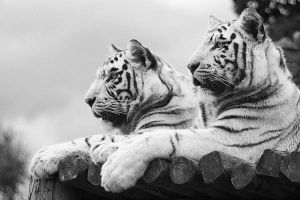 White Tigers by purplepolarbear