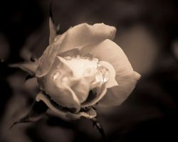 Raindrops On Roses by cheslah