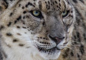 Leopard by nigel3