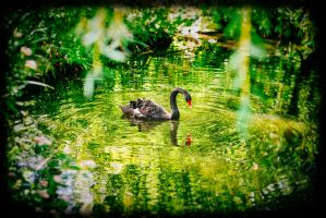 The Black Swan by calimer00