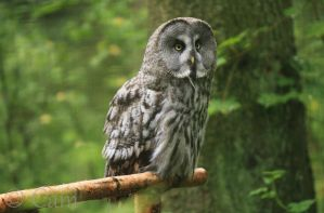 Great Grey Owl by CamStatic