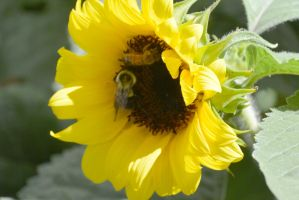 Sunflowers Are Buzzing, Together 4 by Miss-Tbones