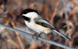 Chickadee in Colour by hennatea