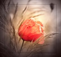 Just a poppy by Vampirbiene