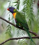 Rainbow Lorikeet 07 by aussiegal7