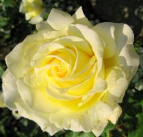 White and Yellow Rose by techgeekgirl