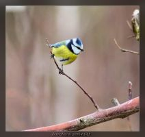 Blue Tit by jamesboy