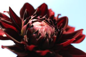 Karma chocolate dahlia 2 by greyrowan