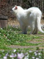 White Cat In Flowers10 by effing-stock