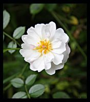 Little White Rose by Brigitte-Fredensborg
