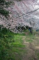 Cherry Blossom Festival 026 by FairieGoodMother