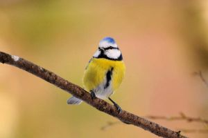Blue Tit by xLostFACEx