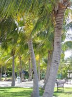 Line of coconut trees 2 by mike19