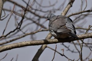 Pigeon Spotted by sockhiddenunderarook