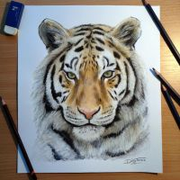 Tiger pencil drawing by AtomiccircuS