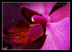 Pink orchidea by little-white-daisy