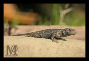 Lizard by microcosmos