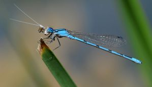 Damselfly with prey. by nolra