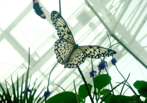 White Buterfly by ZinnatBB