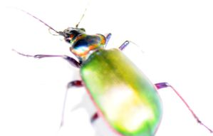 The Fiery Searcher Beetle by Meddling-With-Nature