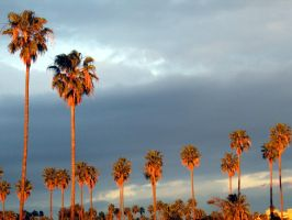 California Palms: 1 of 3 by spyed