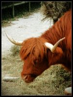 Tulsa Zoo Highland Cow by laurensconcepts