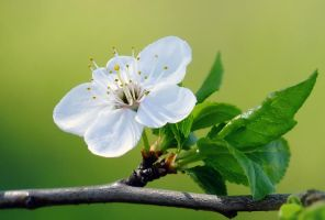 .:Prunus domestica:.. by efeline