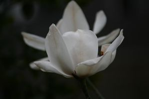 white magnolia closer by ingeline-art