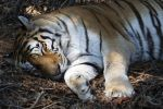 Tiger Sleeping by danielanacif