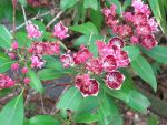my mountain laurel by crazygardener