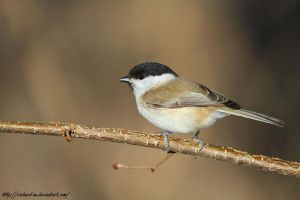 Chickadee by RichardConstantinoff