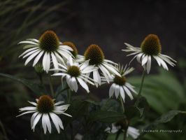 Cone Flower Conspiracy by TruemarkPhotography