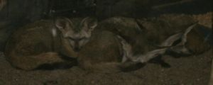 Sleeping Foxes by MadForHatters
