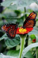 butterfly4 by ThruEmilysEyesPhotos