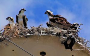 The Osprey family (1) by knighttemplar1