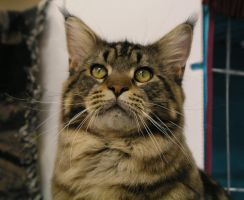 Proud Maine Coon by angrial