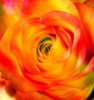 It's Only a Rose by rivoluzionario
