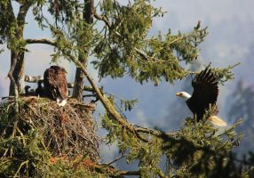 Bald Eagles family of 4 by finhead4ever