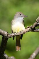 Great crested flycatcher on the branch by AmirNasher