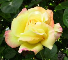 Yellow Rose 2007 by Falln-Stock