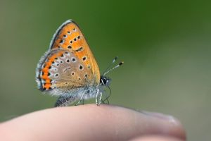 Lycaena helle by aexulans