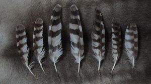 Ural owl wing feathers by Featheroes