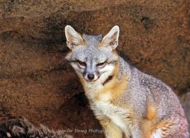 Gray Fox by MorrighanGW