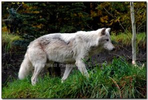 Ghost Wolf by LoneWolfPhotography