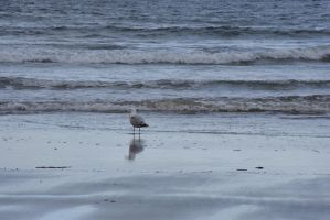 The Beach Reflection, Seagull by Miss-Tbones