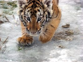 Cautious Cub by HeWhoWalksWithTigers