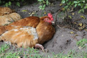 Choccie - ISA Brown x Rhode Island Red Hen by mintymintymid